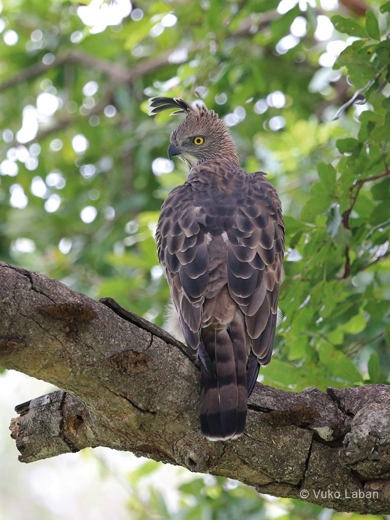 Changeable Hawk Eagle, Spizaetus cirrhatus