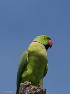 Layard's Parakeet, Psittacula calthropae