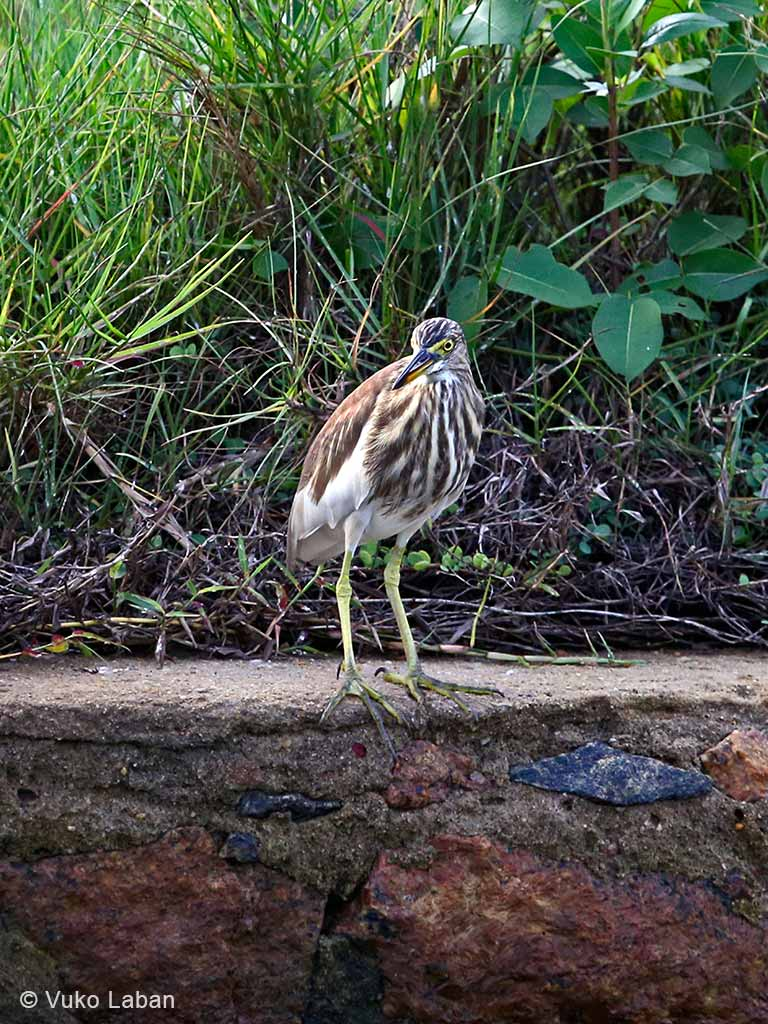 Indian Pond Heron, Ardeola grayii