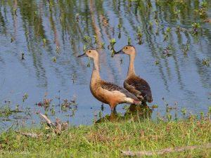 Lesser Whistling-duck, Dendrocygna javanica