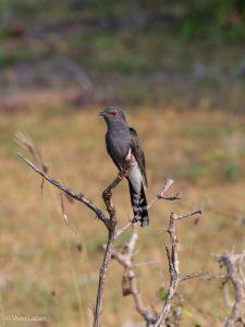 Plaintive Cuckoo, Cacomantis merulinus