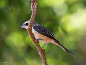 Brown Shrike, Lanius cristatus cristatus