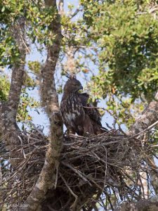 Changable Howk Eagle, Nisaetus cirrhatus