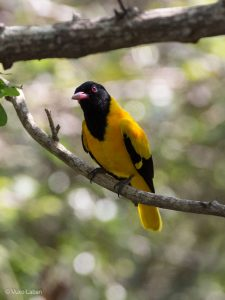 Black Hooded Oriole, Oriolus xanthornus