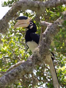 Malabar Pied Hornbill Anthracoceros coronatus