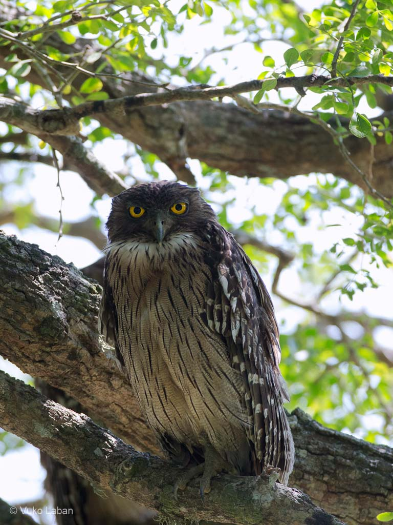 Brown Fish Owl, Bubo zeylonensis