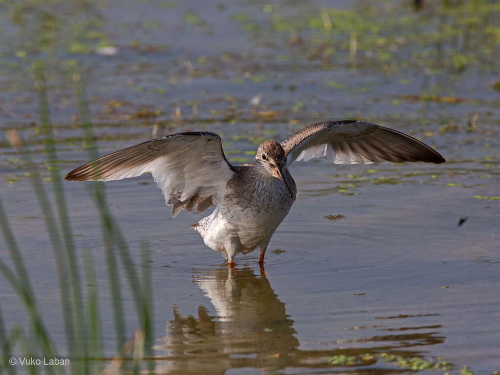 Common Redshank, Tringa totanus