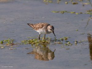 Little Stint, Calidris minuta