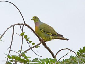 Sri Lanka Green Pidgeon, Treron pompadora